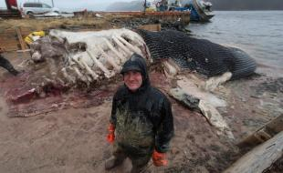 The senior curator at the Royal Ontario Museum, and his team, cut up the carcass of a blue whale in Newfoundland on May 10, 2014. (THE CANADIAN PRESS/Paul Daly)