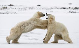 Two polar bears go paw to paw in the snow at Wapusk National Park. (Photo by Andrey Gudkov/Solent News / Rex Features.)