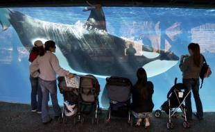 People watch through glass as a killer whale swims by in a display tank at SeaWorld in San Diego.