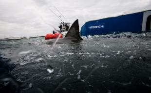 Ocearch scientists tagging Lydia in 2013.